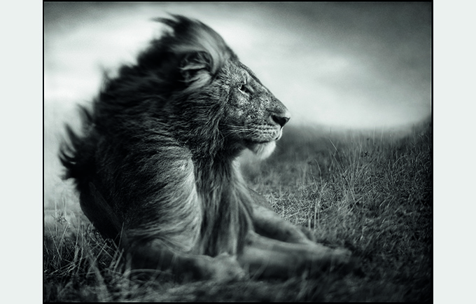 © Nick Brandt. Lion Before Storm II Sitting Profile