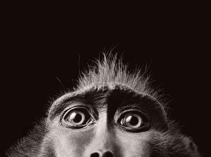 "© Tim Flach  ""Monkey Eyes"""