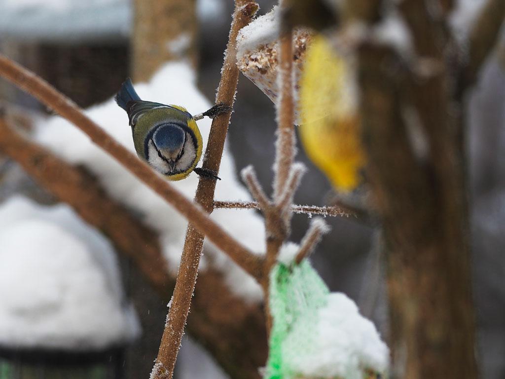 Blåmeis på vinterforing, tatt med håndholdt Olympus Pen-F kamera og 300mm f/4 IS med kombinert optisk og mekanisk bildestabilisator. Foto: Toralf Sandåker